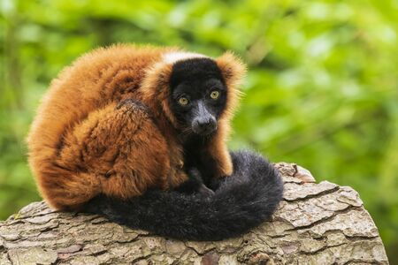 A captive red ruffed lemur Varecia rubra perched in a tree in a forest. These primates are native to the rainforests of Masoala, in the northeast of the island Madagascar.