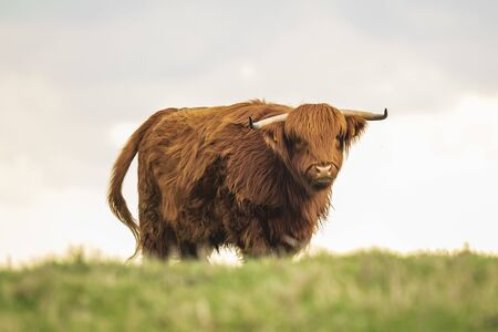 Closeup of brown red Highland cattle, Scottish cattle breed (Bos taurus) with long horns walking through heather in heathland. Stock Photo