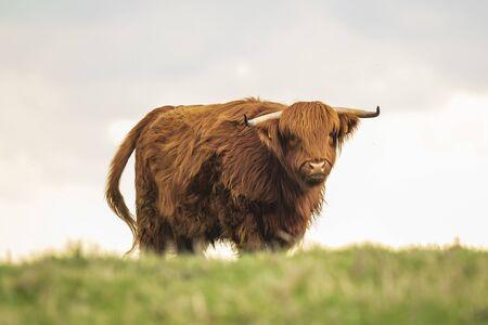 Zbliżenie brązowego czerwonego bydła Highland, rasy bydła szkockiego (Bos taurus) z długimi rogami chodzenie po wrzosach w wrzosowiskach. Zdjęcie Seryjne