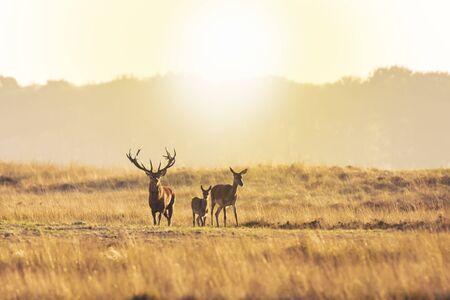Troupeau de cerfs rouges cervus elaphus en rut et rugissant au coucher du soleil, en rut pendant la saison des amours sur un paysage avec des collines, des champs et un magnifique coucher de soleil