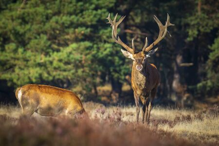 Red deer male, cervus elaphus, with big antlers rutting during mating season on a field near a forest in purple heather blooming.   National parc de Hoge Veluwe, the Netherlands Europe.