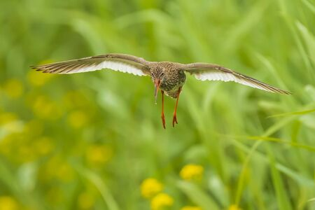 Beautiful common redshank tringa totanus bird flying.These Eurasian wader birds are common breeders in the agraric grassland of the Netherlands. Stock Photo