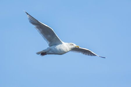 Gull in flight low above the water surface. Backlit by the sun light the feathers are lit brightly. Stock Photo