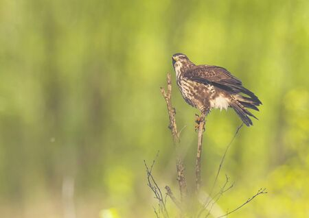 Closeup of a common buzzard, Buteo buteo bird of prey , in flight, touching down and hunting over a colorful meadow and green background