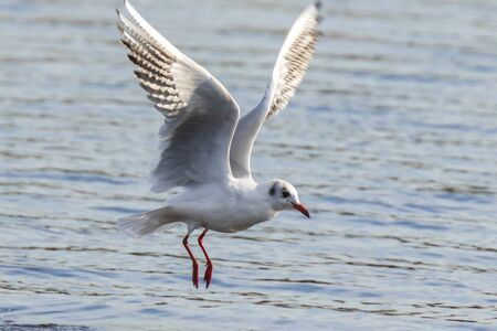 Black-headed gull, Chroicocephalus ridibundus, catching a fish out of the water Stock Photo