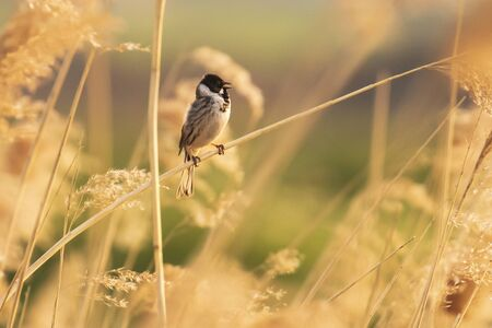 A common reed bunting Emberiza schoeniclus sings a song on a reed plume Phragmites australis during sunset