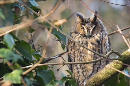 Long eared owl Asio otus bird of prey perched and resting in a tree. winter daytime colors facing camera. Stok Fotoğraf