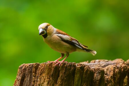 Closeup of a hawfinch female, Coccothraustes coccothraustes, bird perched on wood. Selective focus, natural daylight