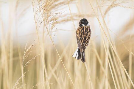 Un banderín de juncos Emberiza schoeniclus canta una canción sobre un penacho de juncos Phragmites australis. Los cañaverales ondean debido a los fuertes vientos en la temporada de primavera en un día nublado. Foto de archivo
