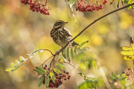 A redwing bird, Turdus iliacu, eating orange berries of Sorbus aucuparia, also called rowan and mountain-ash in a forest during Autumn season
