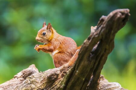 Closeup of a Eurasian red squirrel, Sciurus vulgaris, searching food and eating nuts in a forest. Selective focus, natural sunlight, wild animal. Stok Fotoğraf