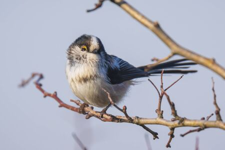 Closeup of a long-tailed tit or long-tailed bushtit, Aegithalos caudatus, bird foraging in a forest during Autumn. A tiny round-bodied tit with a short, stubby bill and a very long, narrow tail. Stok Fotoğraf