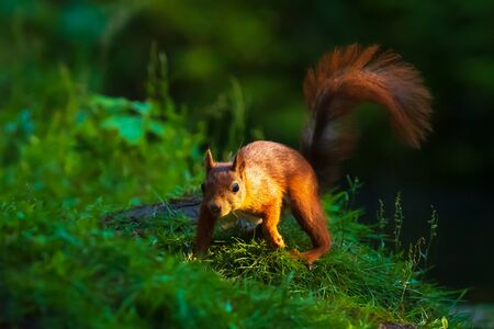 Closeup of a Eurasian red squirrel, Sciurus vulgaris, eating nuts in a forest. Selective focus, natural sunlight, wild animal.
