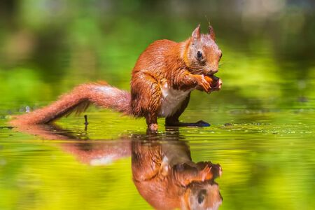 Beautiful Eurasian red squirrel, Sciurus vulgaris, drinking and foraging in water with reflection. Forest wildlife, selective focus, natural sunlight. Stok Fotoğraf