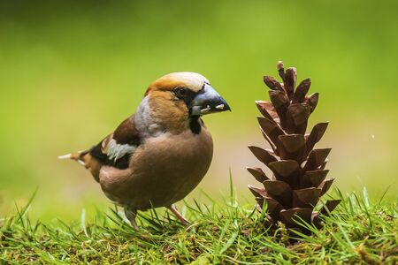 Closeup of a hawfinch male Coccothraustes coccothraustes bird feeding of a pinecone. Natural daylight