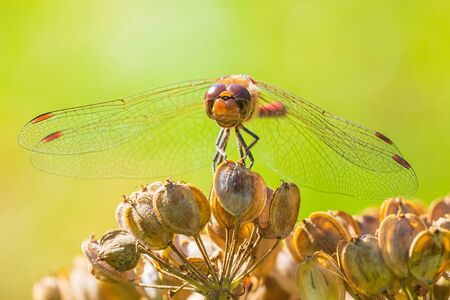 Sympetrum vulgatum, vagrant darter or moustached darter front view. Wings spread he is drying his wings in the early, warm sun light