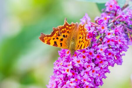 Comma butterfly Polygonia c-album pollinating and feeding on purple buddleja flowers