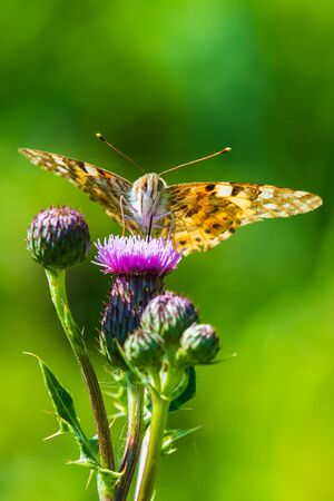 Painted Lady butterfly vanessa cardu feeding nectar from a purple thistle flower. Stok Fotoğraf