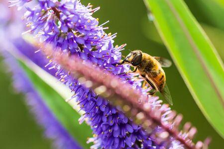 Drone fly Eristalis tenax insect feeding on purple Buddleja flowers on a sunny day Фото со стока - 130799509