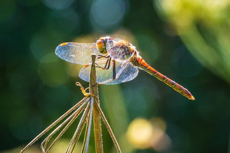 Sympetrum striolatum Common Darter wings spread he is drying his wings in the early, warm sun light Фото со стока - 130799512