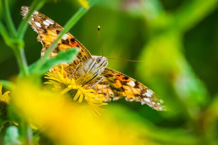 Frontal view of a Painted Lady butterfly vanessa cardu feeding nectar on yellow flowers