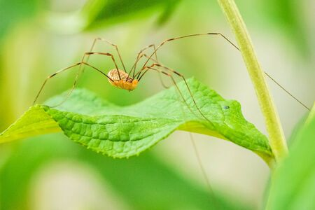 Closeup of a opilio canestrinii spider resting on a green leaf Stockfoto