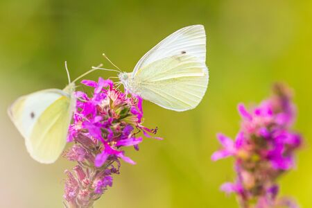 Pieris rapae small white butterfly feeding nectar from pink purple flowers in a colorful meadow. Bright natural sunlight, vibrant colors, selective focus. Reklamní fotografie