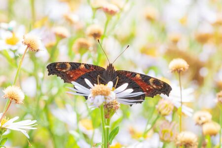 Aglais io, Peacock butterfly pollinating and feeding on white flowers in a meadow. Reklamní fotografie