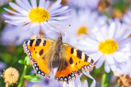 Small tortoiseshell Aglais urticae butterfly spread wings detailed top view closeup. Pollinating on white flowers in a vibrant colored meadow, natural sunlight, selective focus, isolated by nature