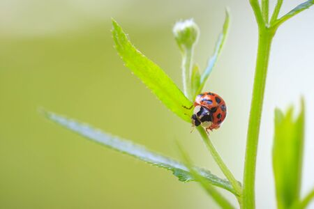 Ladybug or ladybird insect climbing. Fresh, vibrant colors and sunlight. Selective soft focus.