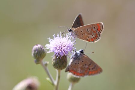 The small brown hairstreak butterfly mating and feeding nectar on a flower