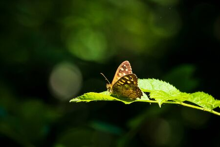 Side view of a speckled wood butterfly, Pararge aegeria. Resting on a leaf in a forest with open wings