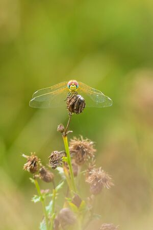 Close-up of a Sympetrum fonscolombii, Red-veined darter or nomad resting on vegetation Фото со стока - 130799580