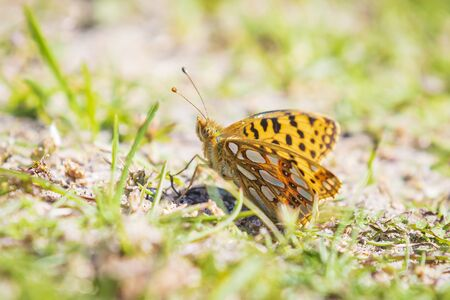 Queen of spain fritillary, issoria lathonia, butterfly resting in a meadow. Coastal dunes landscape, daytime bright sunlight. Фото со стока - 130799581