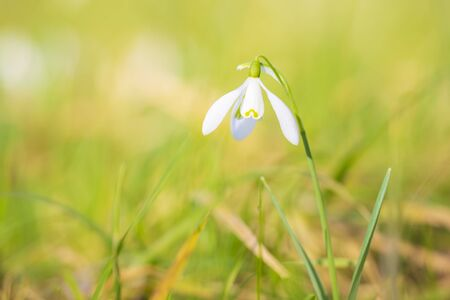 Common snowdrop Galanthus nivalis flowers blooming in sunlight on a green meadow. small focus depth technique. Фото со стока - 130799583