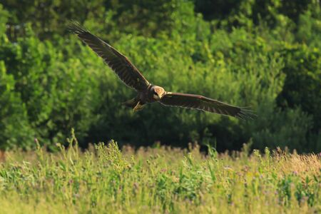 Female Western marsh harrier, Circus aeruginosus, bird of prey in flight searching and hunting above a field Фото со стока