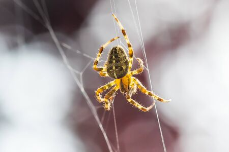 Closeup of a cross spider, araneus diadematus, hanging in a spider web waiting for a prey Фото со стока - 130799584