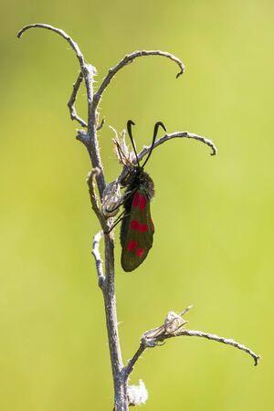 Closeup of a six-spot burnet butterfly Zygaena filipendulae, resting during daytime. Reklamní fotografie