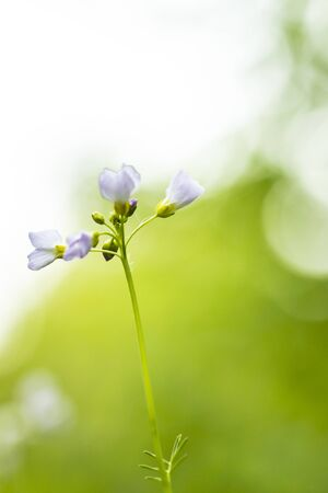 Cuckooflower, Cardamine pratensis, blooming in a meadow during spring. Abstract creation using selective focus. This plant is a host plant for the orange tip butterfly (Anthocharis cardamines). Фото со стока - 130799586