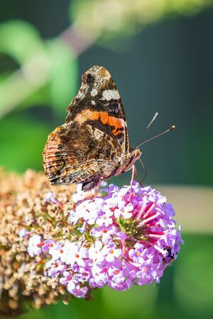 Red Admiral butterfly, Vanessa atalanta, feeding nectar from a purple butterfly-bush in garden. Bright sunlight, vibrant colors. Фото со стока - 130799593