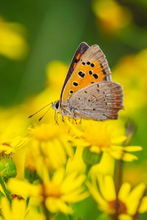 Closeup of a small or common Copper butterfly, lycaena phlaeas, feeding nectar of yellow flowers in a floral and vibrant meadow with bright sunlight.