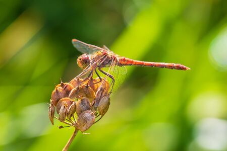 Sympetrum striolatum Common Darter wings spread he is drying his wings in the early, warm sun light Фото со стока - 130799595