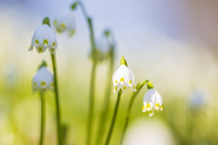 White Spring snowflake flowers, TLeucojum vernum, blooming in sunlight on a green meadow. a perennial bulbous flowering plant species in the family daffodil Фото со стока - 130799599