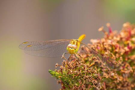 Close-up of a female vagrant darter, Sympetrum vulgatum, resting on vegetation