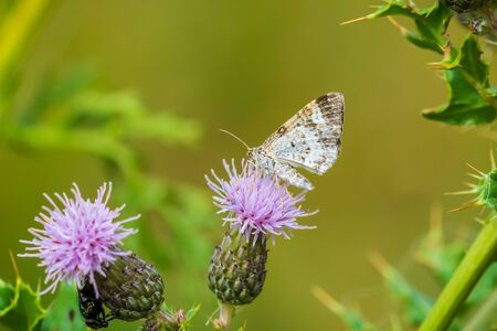 Closeup of a common carpet or white-banded toothed carpet Epirrhoe alternata moth feeding on a purple thistle flower. Reklamní fotografie