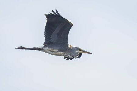 Great blue heron (Ardea herodias) waterfowl bird in flight aigaint a blue sky with his wings spread. Фото со стока - 132062421