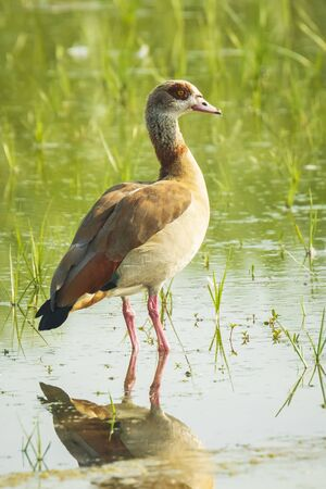 Egyptian geese Alopochen aegyptiacus on water. They are native to Africa south of the Sahara and the Nile Valley Фото со стока - 132062467