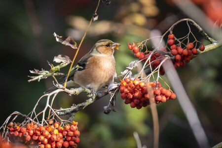 Closeup of a male chaffinch, Fringilla coelebs, eating berries on a tree in a green forest. Autumn colors are clearly visible. Фото со стока