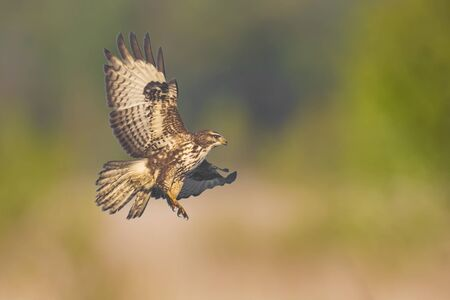 Closeup of a common buzzard, Buteo buteo bird of prey , in flight, touching down and hunting over a colorful meadow and green background Фото со стока - 132063138