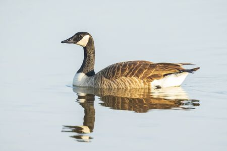 Canadian goose (Branta canadensis) swimming on water, cleaning his feathers and plumage.. Фото со стока - 132062568
